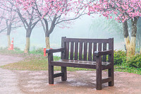 Wooden bench under the pink sakura tree, Cherry bl