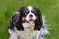Cute cavalier spaniel sitting on the green grass