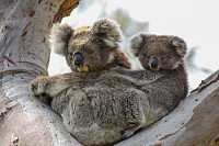 Koala mother with baby joey on its back sitting in