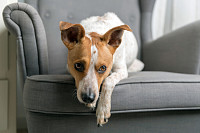 Cute dog lying on the armchair