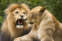 Lion male and female in african bush