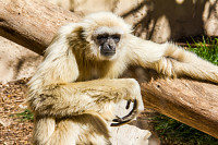 A white-handed, hylobates lar, gibbon relaxed sunb
