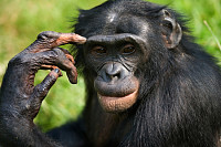 Portrait of a Bonobo. Democratic Republic of the C