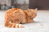 Single red cat relaxing outdoors