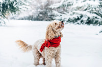 Cute and funny little dog with red scarf playing a