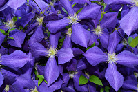 Purple Large Clematis flower (Clematis x jackmanii