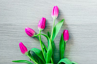 A bouquet of pink delicate tulip flowers, on light