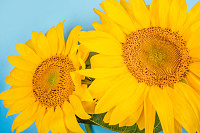 Bright big yellow sunflower bouquet on blue backgr