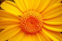 Yellow chrysanthemun flower macro background wallp