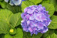 Purple flower hydrangea (Hydrangea macrophylla) in
