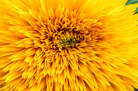 Abstract background with sunflower petals