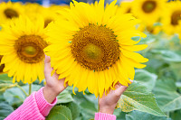 Hands holding sunflower in field. Selective focus