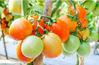 Fresh ripe tomatoes growing on a branch in garden,