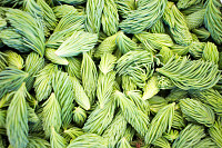 Fresh picked green spruce shoots