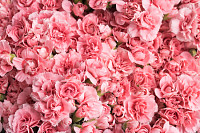 Lot of beautiful flowering pink flowers - a top vi