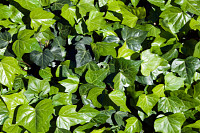 Syndey Australia, groundcover ivy leaves in sunshi