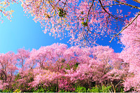 Spring Pink Cherry Blossoms with Blue Sky Backgrou