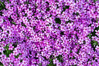 Carpet of pink flowers growing in the garden