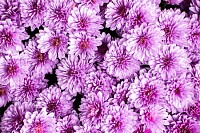 Purple Petaled Flowers