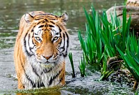 Bengal Tiger Half Soak Body on Water