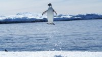 Jumping Penguin