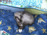 sleeping birman