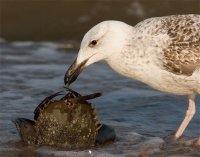 Gull Eating a Crab