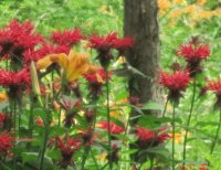 Hummer in Bee Balm