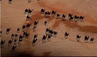 camels-not what you think