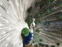PAVO REAL BICOLOR