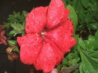 Red flower with rain drops