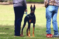 Gorgeous Doberman | Horse Show Dog