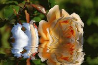 swan and rose on water