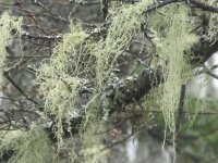 Green fuzzies hang from branches