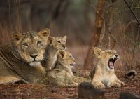 Asiatic Lioness with Cubs