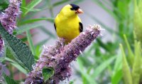 Goldfinch on Edible Anise Hyssop Flowers