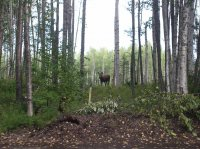 Young moose eating birch leaves