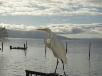 Heron on railing