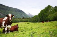 Norwegian landscape with cows