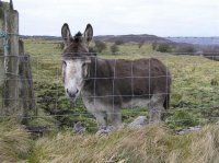 Irish donkey