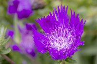 Purple Parasol or Stokes Aster