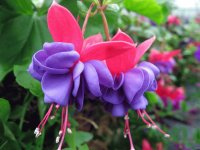 Gorgeous Fuchsia Flower