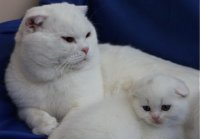 Scottish fold withe
