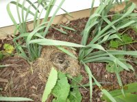 Baby bunnies in the flower bed