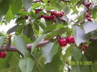 Cherries in the Springtime