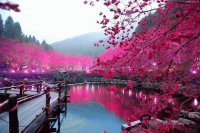 blossom in japan
