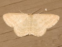 Scopula limpoundata