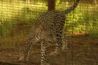 Leopardo arabo