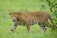 Leopardo indiano