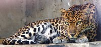 Leopardo indocinese